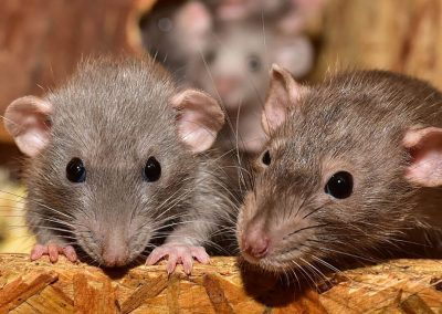 ratti-e-topi-differenze