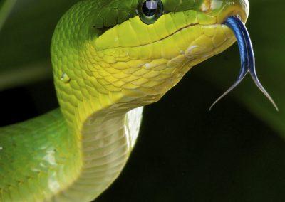 serpente-verde
