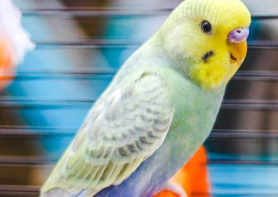 ucceli-cocorite-colori-esistenti-ferplast